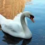 Лебедь – негласный символ Праги